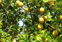 Lemon tree fruit