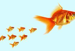 Group of small goldfish following a larger goldfish